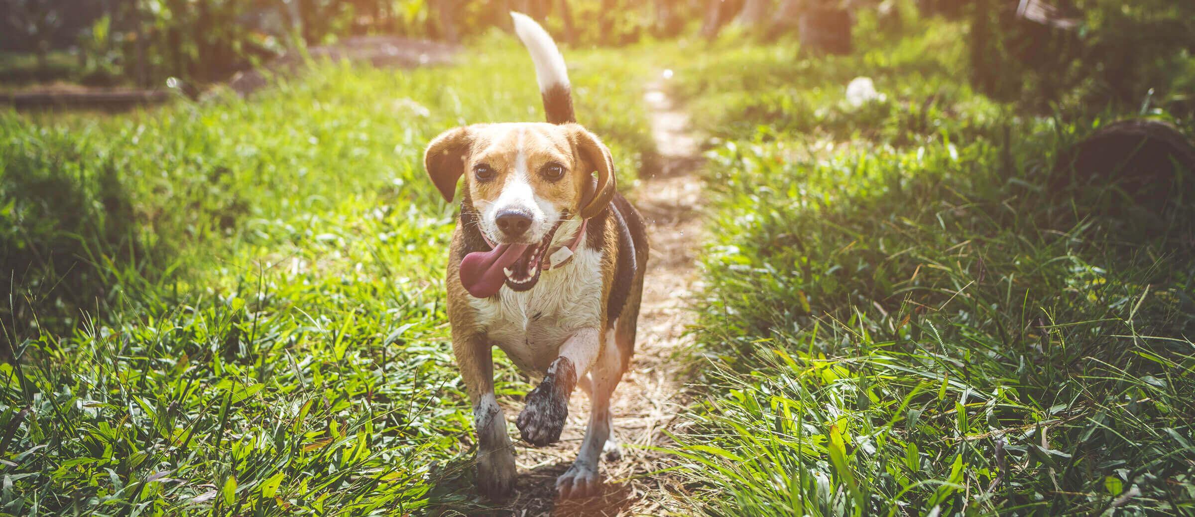 beagle-running